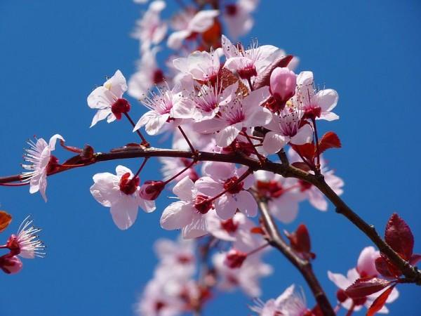 CherryBlossomFestival1-600x450